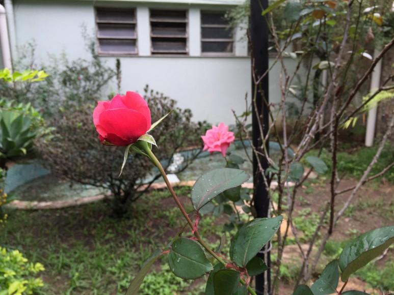 Rosa de Anchieta