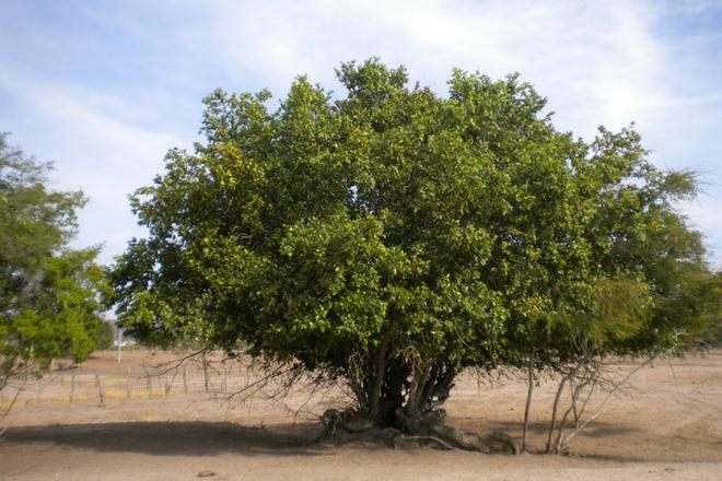 Juazeiro - Bioma Caatinga