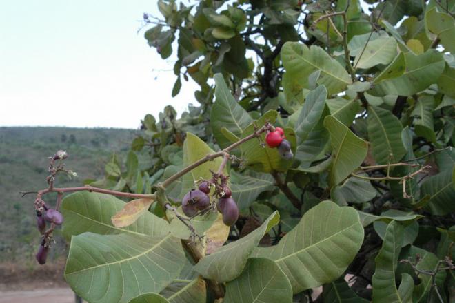 Cajuzinho-do-mato - Bioma Cerrado